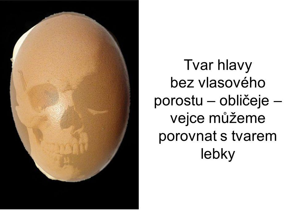 Tvar hlavy bez vlasového porostu – obličeje – vejce můžeme porovnat s tvarem lebky