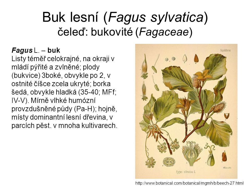 Buk lesní (Fagus sylvatica) čeleď: bukovité (Fagaceae) http://www.botanical.com/botanical/mgmh/b/beech-27.html Fagus L. – buk Listy téměř celokrajné,