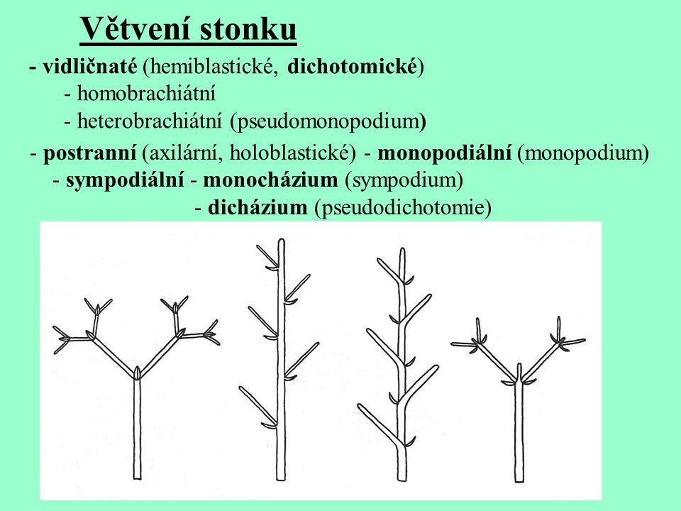 - vidličnaté (hemiblastické, dichotomické) - homobrachiátní - heterobrachiátní (pseudomonopodium) - postranní (axilární, holoblastické) - monopodiální (monopodium) - sympodiální - monocházium (sympodium) - dicházium (pseudodichotomie) Větvení stonku