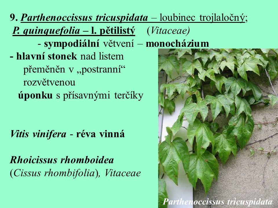 9.Parthenoccissus tricuspidata – loubinec trojlaločný; P.