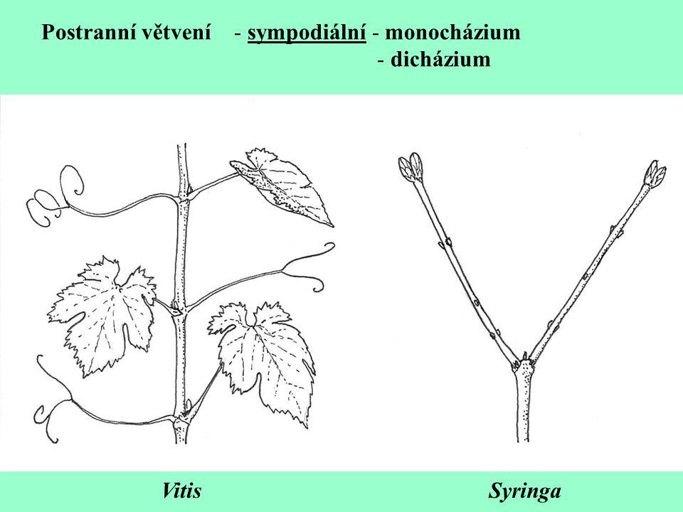 Postranní větvení - sympodiální - monocházium - dicházium VitisSyringa