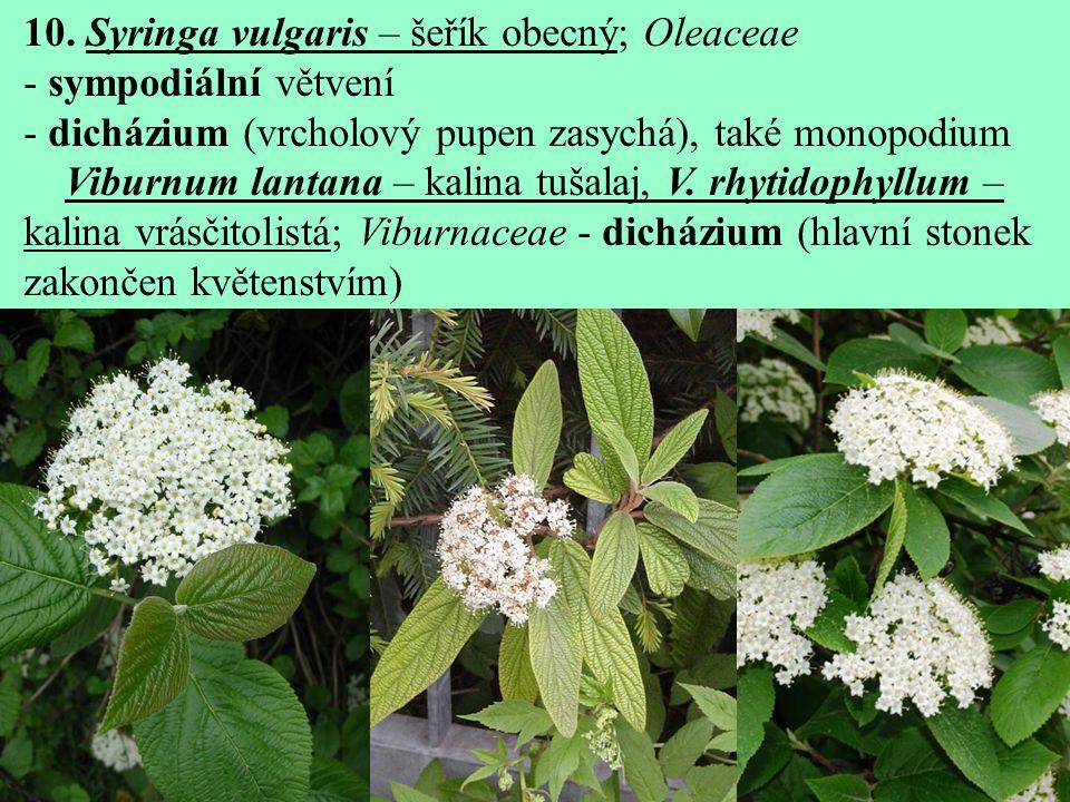 10. Syringa vulgaris – šeřík obecný; Oleaceae - sympodiální větvení - dicházium (vrcholový pupen zasychá), také monopodium Viburnum lantana – kalina t