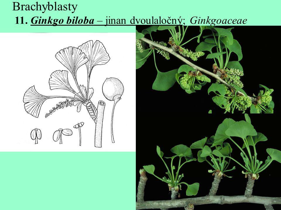 Brachyblasty 11. Ginkgo biloba – jinan dvoulaločný; Ginkgoaceae