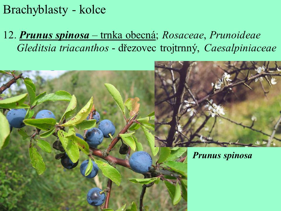 Brachyblasty - kolce 12.