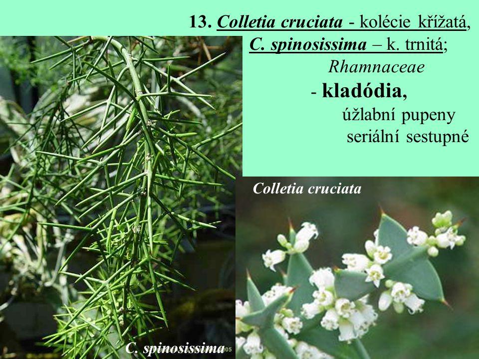 13.Colletia cruciata - kolécie křížatá, C. spinosissima – k.