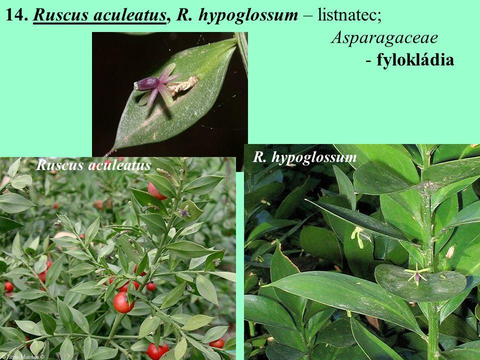 14.Ruscus aculeatus, R. hypoglossum – listnatec; Asparagaceae - fylokládia Ruscus aculeatus R.