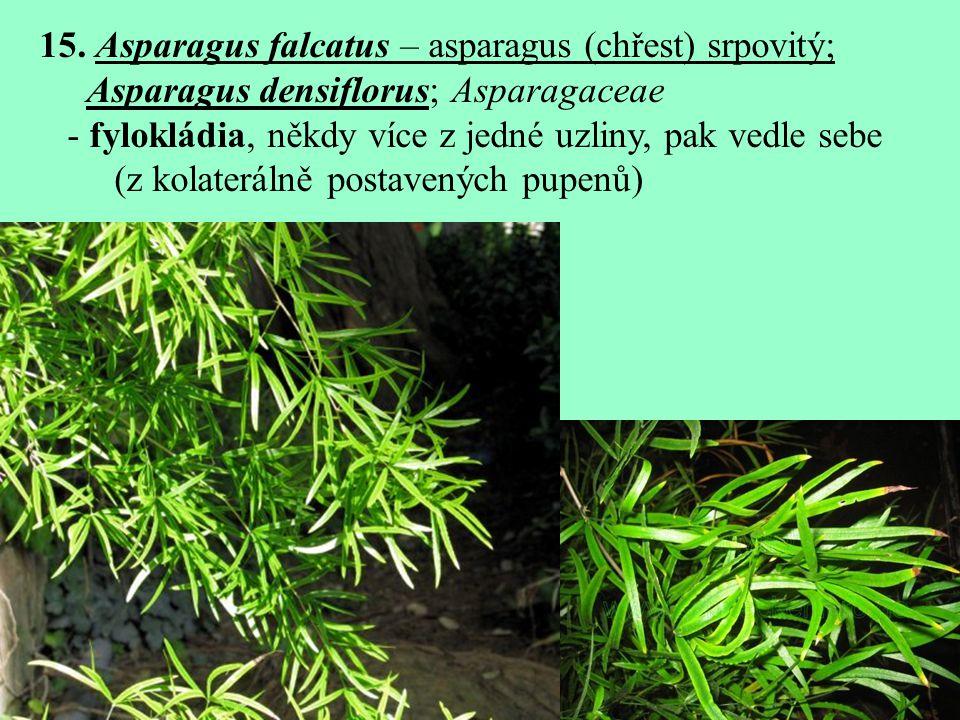 15. Asparagus falcatus – asparagus (chřest) srpovitý; Asparagus densiflorus; Asparagaceae - fylokládia, někdy více z jedné uzliny, pak vedle sebe (z k