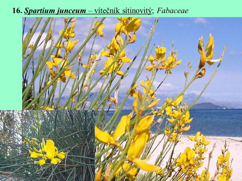 16. Spartium junceum – vítečník sítinovitý; Fabaceae