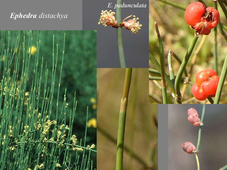 Ephedra distachya E. pedunculata