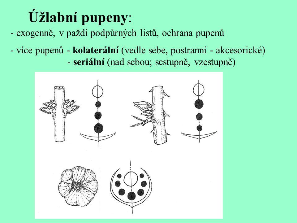 Úžlabní pupeny: - exogenně, v paždí podpůrných listů, ochrana pupenů - více pupenů - kolaterální (vedle sebe, postranní - akcesorické) - seriální (nad sebou; sestupně, vzestupně)