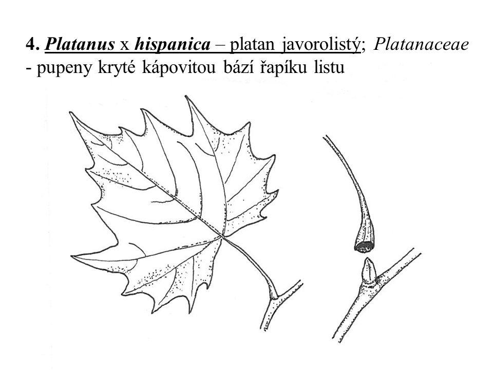 4. Platanus x hispanica – platan javorolistý; Platanaceae - pupeny kryté kápovitou bází řapíku listu