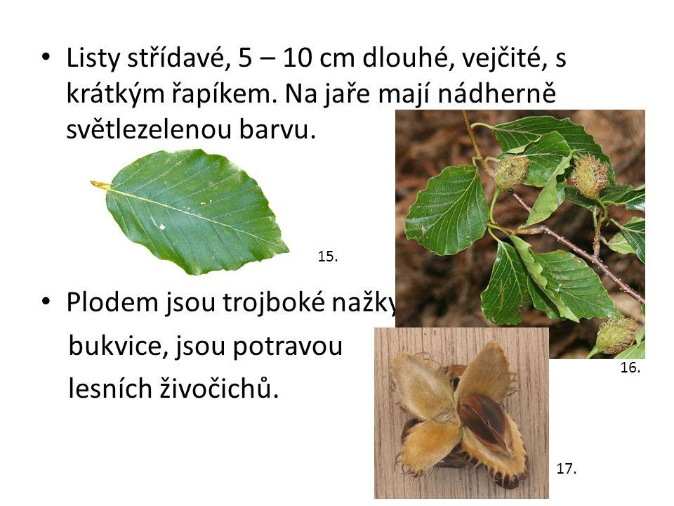 Listy střídavé, 5 – 10 cm dlouhé, vejčité, s krátkým řapíkem. Na jaře mají nádherně světlezelenou barvu. Plodem jsou trojboké nažky bukvice, jsou potr