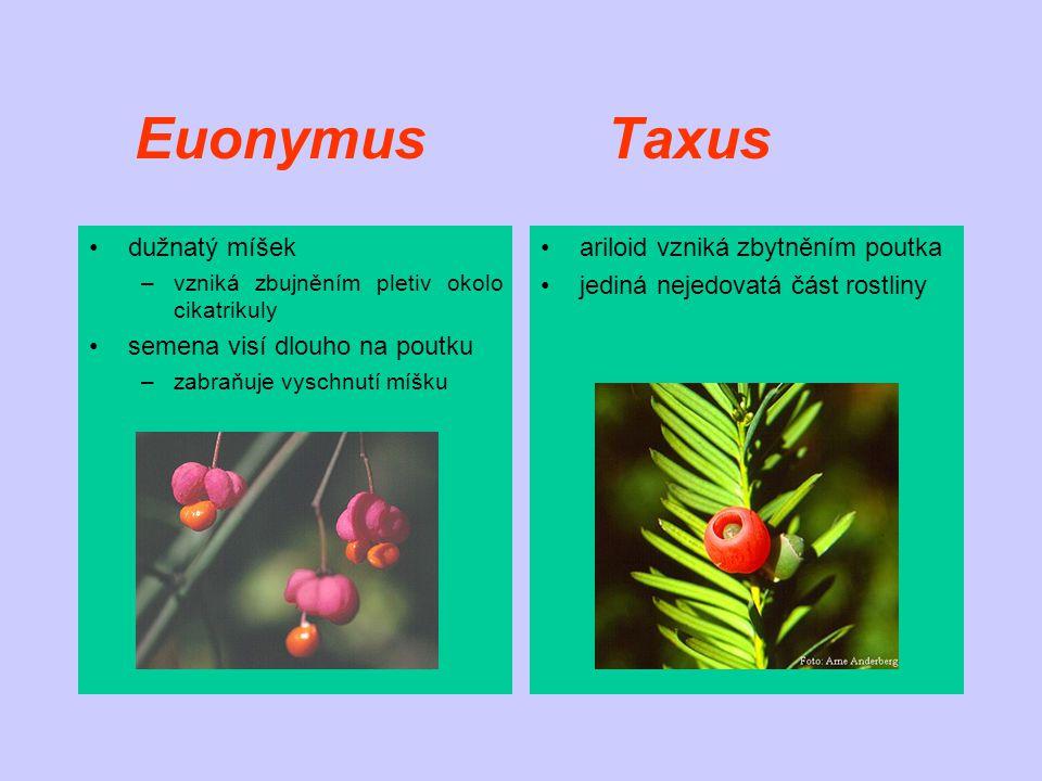 Euonymus Taxus dužnatý míšek –vzniká zbujněním pletiv okolo cikatrikuly semena visí dlouho na poutku –zabraňuje vyschnutí míšku ariloid vzniká zbytněním poutka jediná nejedovatá část rostliny