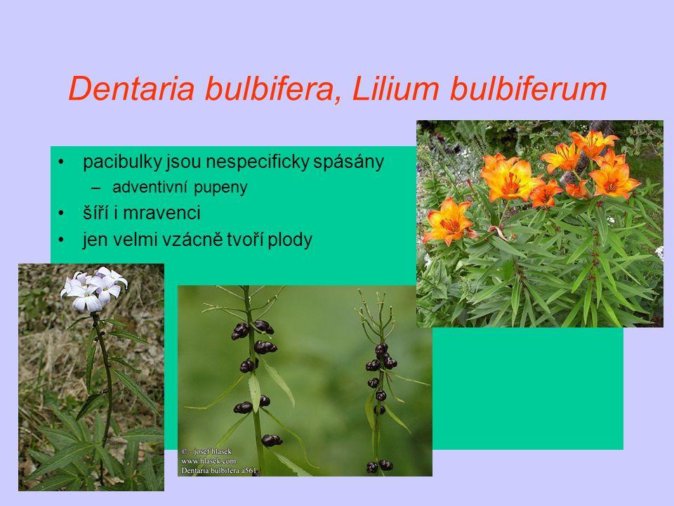 Dentaria bulbifera, Lilium bulbiferum pacibulky jsou nespecificky spásány –adventivní pupeny šíří i mravenci jen velmi vzácně tvoří plody