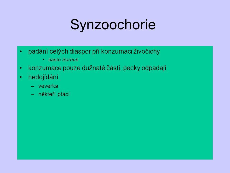 Synzoochorie padání celých diaspor při konzumaci živočichy často Sorbus konzumace pouze dužnaté části, pecky odpadají nedojídání –veverka –někteří ptá