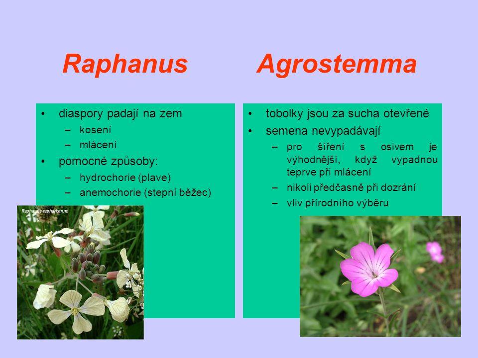 Raphanus Agrostemma diaspory padají na zem –kosení –mlácení pomocné způsoby: –hydrochorie (plave) –anemochorie (stepní běžec) tobolky jsou za sucha otevřené semena nevypadávají –pro šíření s osivem je výhodnější, když vypadnou teprve při mlácení –nikoli předčasně při dozrání –vliv přírodního výběru