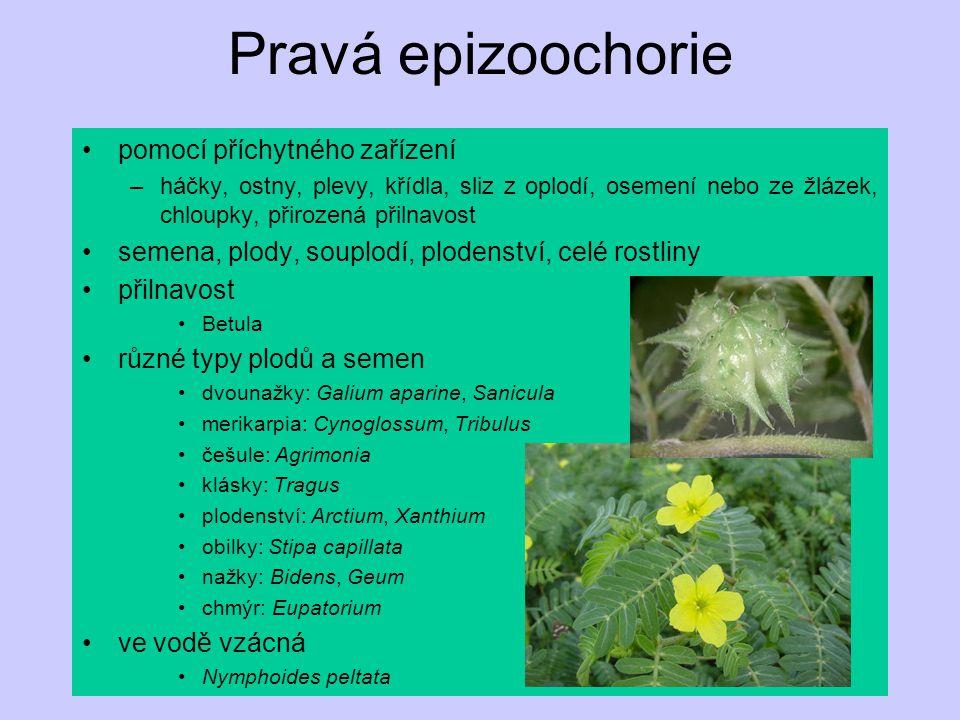 Pravá epizoochorie pomocí příchytného zařízení –háčky, ostny, plevy, křídla, sliz z oplodí, osemení nebo ze žlázek, chloupky, přirozená přilnavost semena, plody, souplodí, plodenství, celé rostliny přilnavost Betula různé typy plodů a semen dvounažky: Galium aparine, Sanicula merikarpia: Cynoglossum, Tribulus češule: Agrimonia klásky: Tragus plodenství: Arctium, Xanthium obilky: Stipa capillata nažky: Bidens, Geum chmýr: Eupatorium ve vodě vzácná Nymphoides peltata