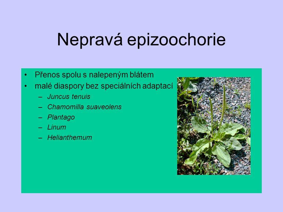 Nepravá epizoochorie Přenos spolu s nalepeným blátem malé diaspory bez speciálních adaptací –Juncus tenuis –Chamomilla suaveolens –Plantago –Linum –He