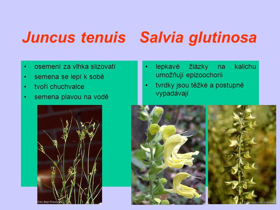 Juncus tenuis Salvia glutinosa osemení za vlhka slizovatí semena se lepí k sobě tvoří chuchvalce semena plavou na vodě lepkavé žlázky na kalichu umožňují epizoochorii tvrdky jsou těžké a postupně vypadávají