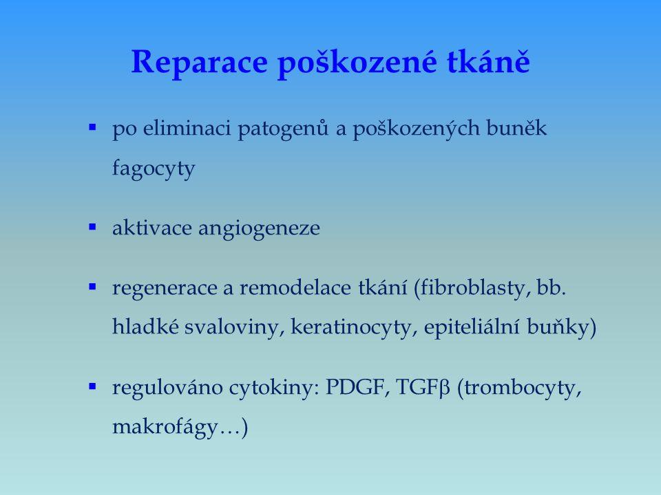 Reparace poškozené tkáně  po eliminaci patogenů a poškozených buněk fagocyty  aktivace angiogeneze  regenerace a remodelace tkání (fibroblasty, bb.