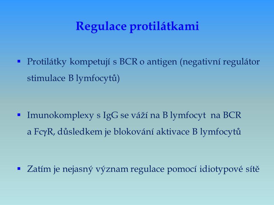 Regulace protilátkami  Protilátky kompetují s BCR o antigen (negativní regulátor stimulace B lymfocytů)  Imunokomplexy s IgG se váží na B lymfocyt n