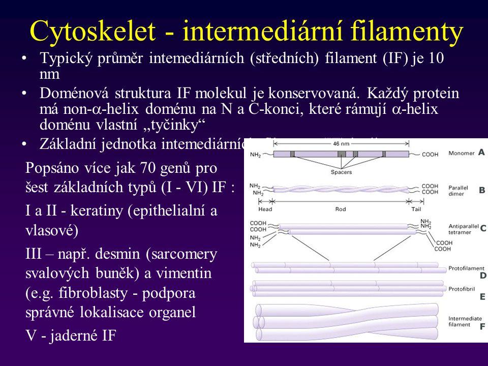 Cytoskelet - intermediární filamenty Typický průměr intemediárních (středních) filament (IF) je 10 nm Doménová struktura IF molekul je konservovaná. K