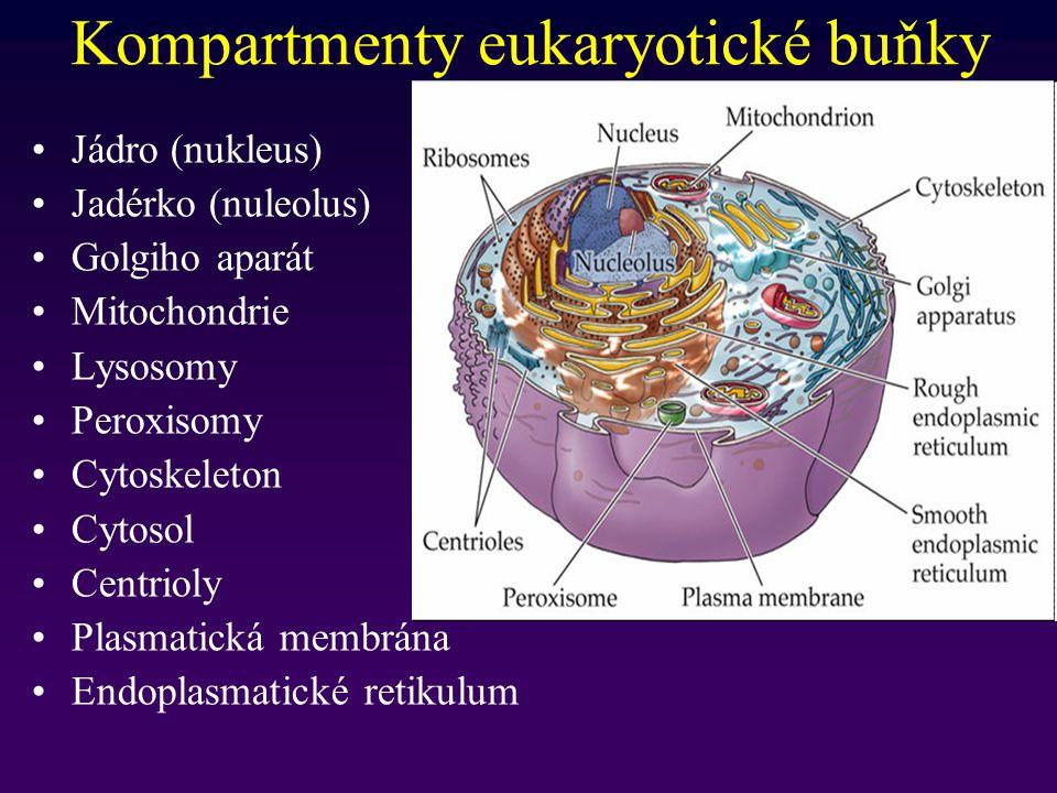Kompartmenty eukaryotické buňky Jádro (nukleus) Jadérko (nuleolus) Golgiho aparát Mitochondrie Lysosomy Peroxisomy Cytoskeleton Cytosol Centrioly Plas