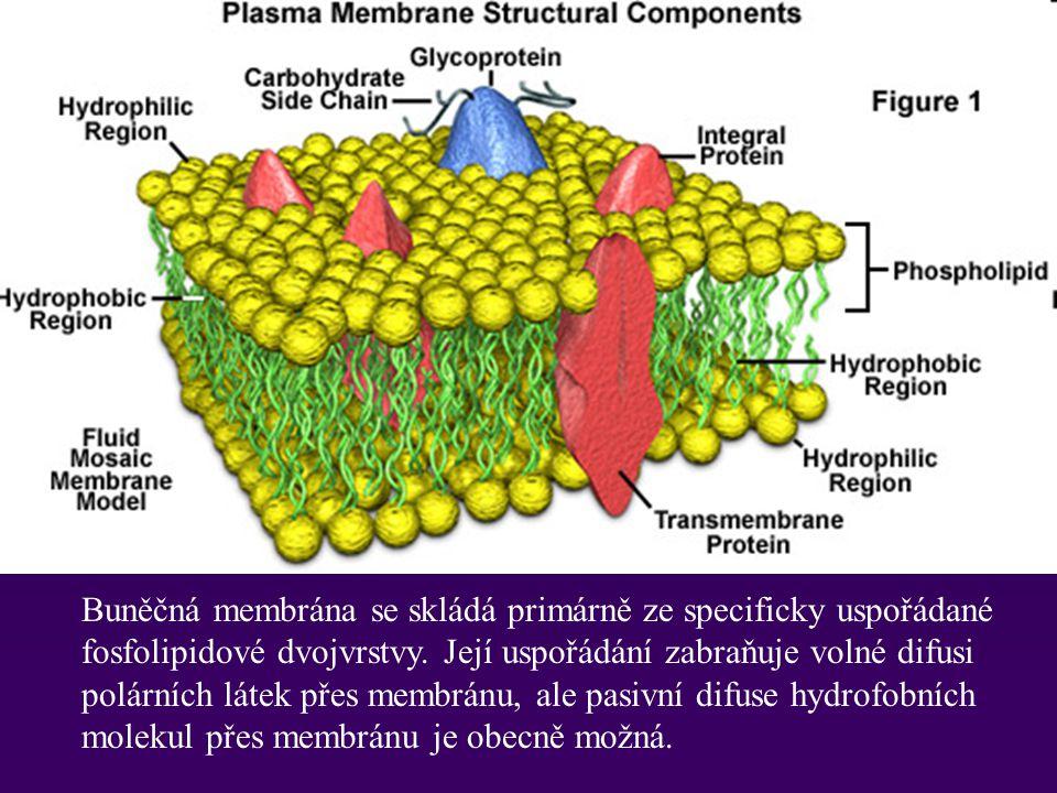 Transport přes plasmatickou membránu Plasmatická membrána je selektivně permeabilní a většina hydrofobních molekul může pasivně difundovat přes lipidickou dvouvrstvu membrány Jsou tři způsoby transportu polárních molekul : 1.Difuse - the pasivmí pohyb molekul dle koncentračního gradientu dokud není dosaženo rovnováhy 2.Usnadněná difuse - 3.Aktivní transport -
