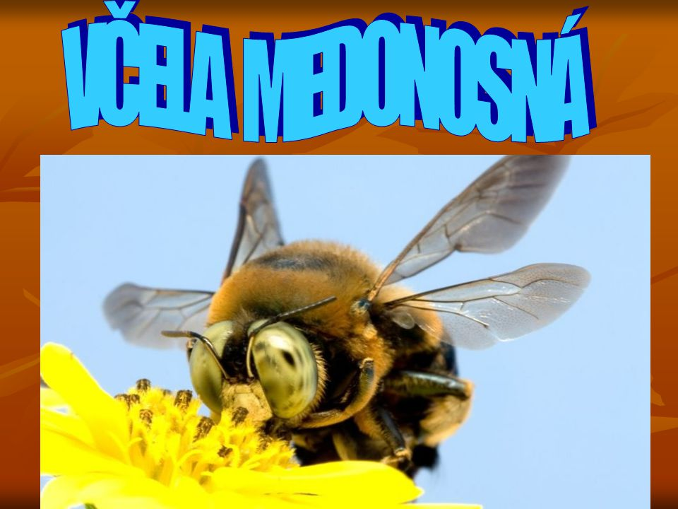 Co o ní můžeme vědět.- nežije sama, je vždy členem velké skupiny dalších včel.