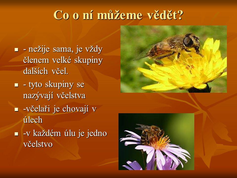 Co o ní můžeme vědět? - nežije sama, je vždy členem velké skupiny dalších včel. - nežije sama, je vždy členem velké skupiny dalších včel. - tyto skupi