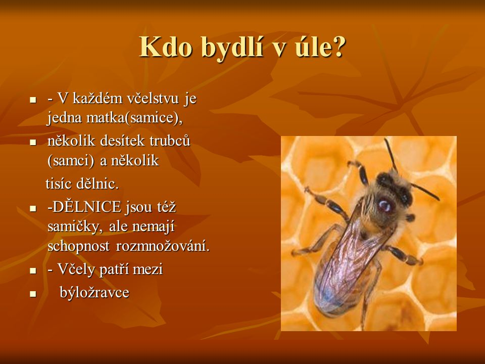 Kdo bydlí v úle? - V každém včelstvu je jedna matka(samice), - V každém včelstvu je jedna matka(samice), několik desítek trubců (samci) a několik něko