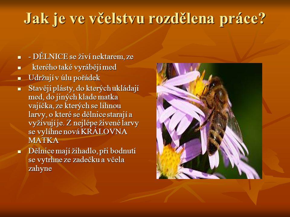 Jak je ve včelstvu rozdělena práce? - DĚLNICE se živí nektarem, ze - DĚLNICE se živí nektarem, ze kterého také vyrábějí med kterého také vyrábějí med
