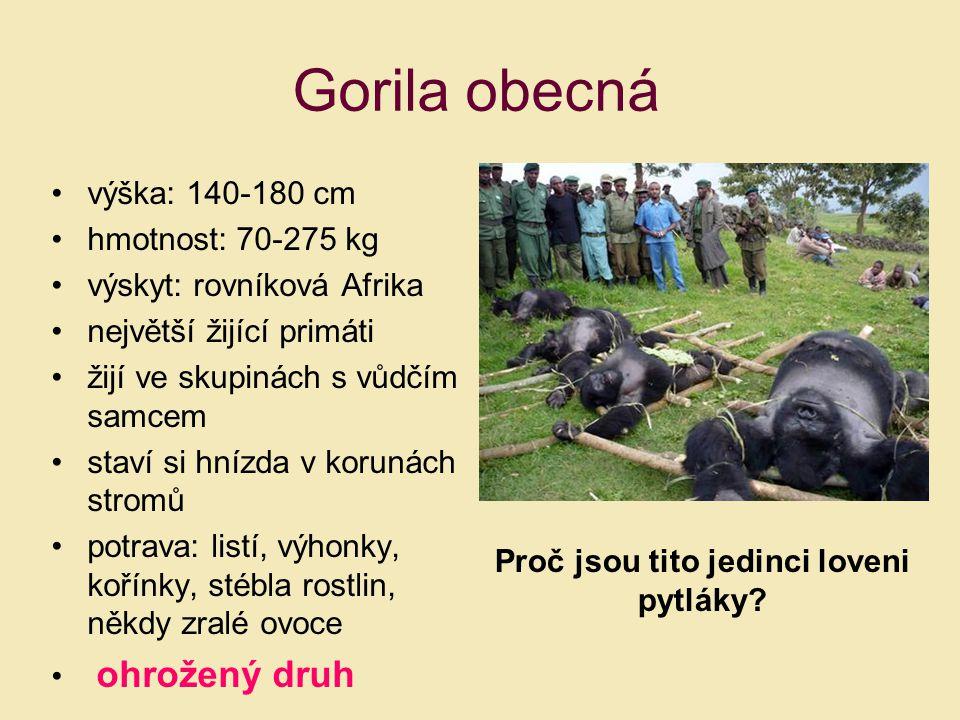 výška: 140-180 cm hmotnost: 70-275 kg výskyt: rovníková Afrika největší žijící primáti žijí ve skupinách s vůdčím samcem staví si hnízda v korunách st