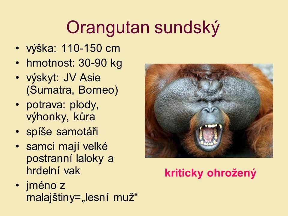 výška: 110-150 cm hmotnost: 30-90 kg výskyt: JV Asie (Sumatra, Borneo) potrava: plody, výhonky, kůra spíše samotáři samci mají velké postranní laloky