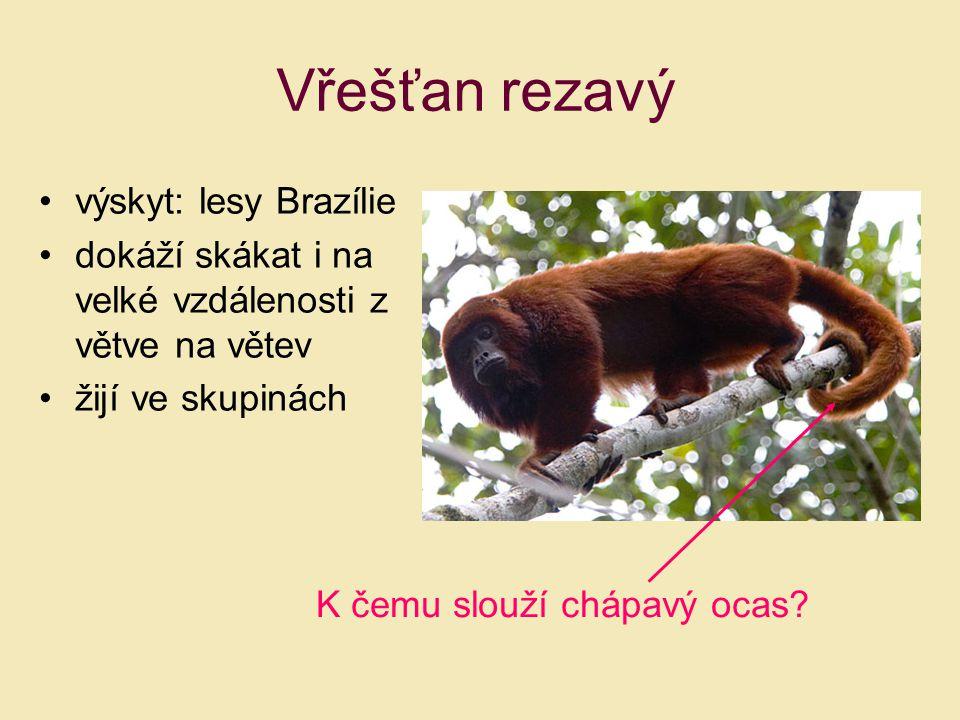 Vřešťan rezavý výskyt: lesy Brazílie dokáží skákat i na velké vzdálenosti z větve na větev žijí ve skupinách K čemu slouží chápavý ocas?