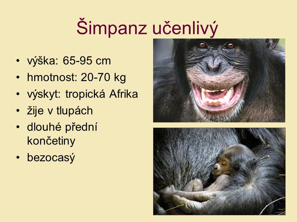 výška: 65-95 cm hmotnost: 20-70 kg výskyt: tropická Afrika žije v tlupách dlouhé přední končetiny bezocasý