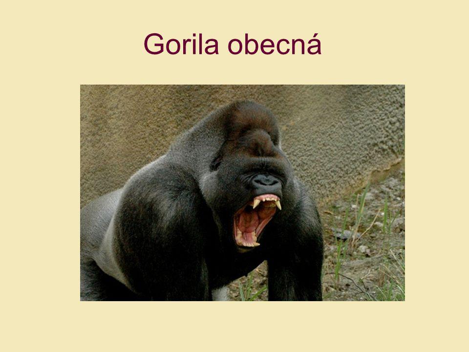 Gorila obecná