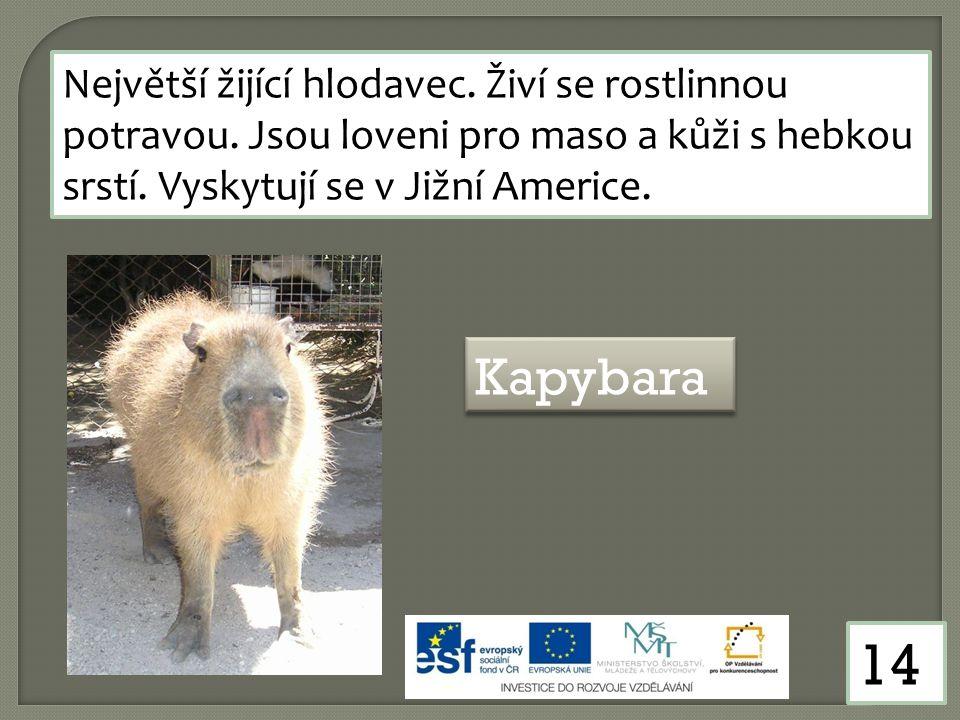 14 Největší žijící hlodavec. Živí se rostlinnou potravou. Jsou loveni pro maso a kůži s hebkou srstí. Vyskytují se v Jižní Americe. Kapybara