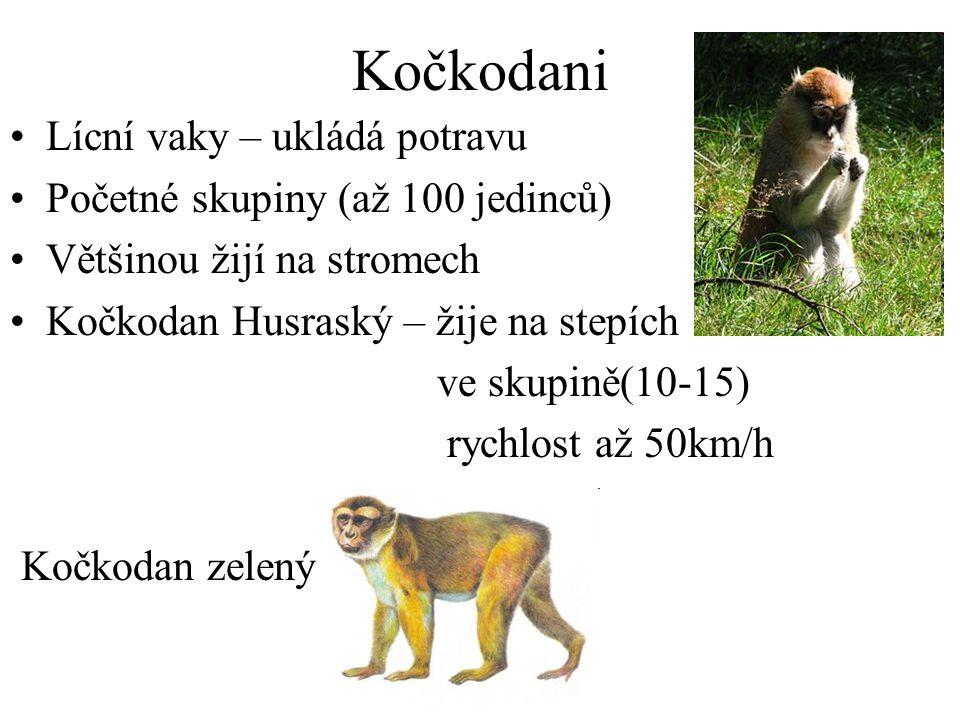 Kočkodani Lícní vaky – ukládá potravu Početné skupiny (až 100 jedinců) Většinou žijí na stromech Kočkodan Husraský – žije na stepích ve skupině(10-15) rychlost až 50km/h Kočkodan zelený