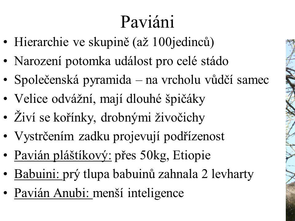 Paviáni Hierarchie ve skupině (až 100jedinců) Narození potomka událost pro celé stádo Společenská pyramida – na vrcholu vůdčí samec Velice odvážní, mají dlouhé špičáky Živí se kořínky, drobnými živočichy Vystrčením zadku projevují podřízenost Pavián pláštíkový: přes 50kg, Etiopie Babuini: prý tlupa babuinů zahnala 2 levharty Pavián Anubi: menší inteligence