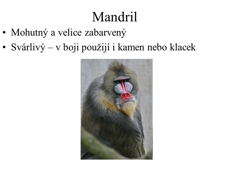 Mandril Mohutný a velice zabarvený Svárlivý – v boji použijí i kamen nebo klacek