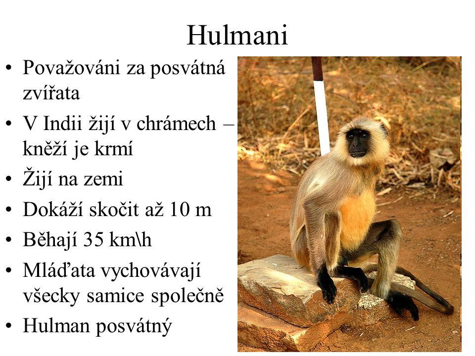 Hulmani Považováni za posvátná zvířata V Indii žijí v chrámech – kněží je krmí Žijí na zemi Dokáží skočit až 10 m Běhají 35 km\h Mláďata vychovávají všecky samice společně Hulman posvátný