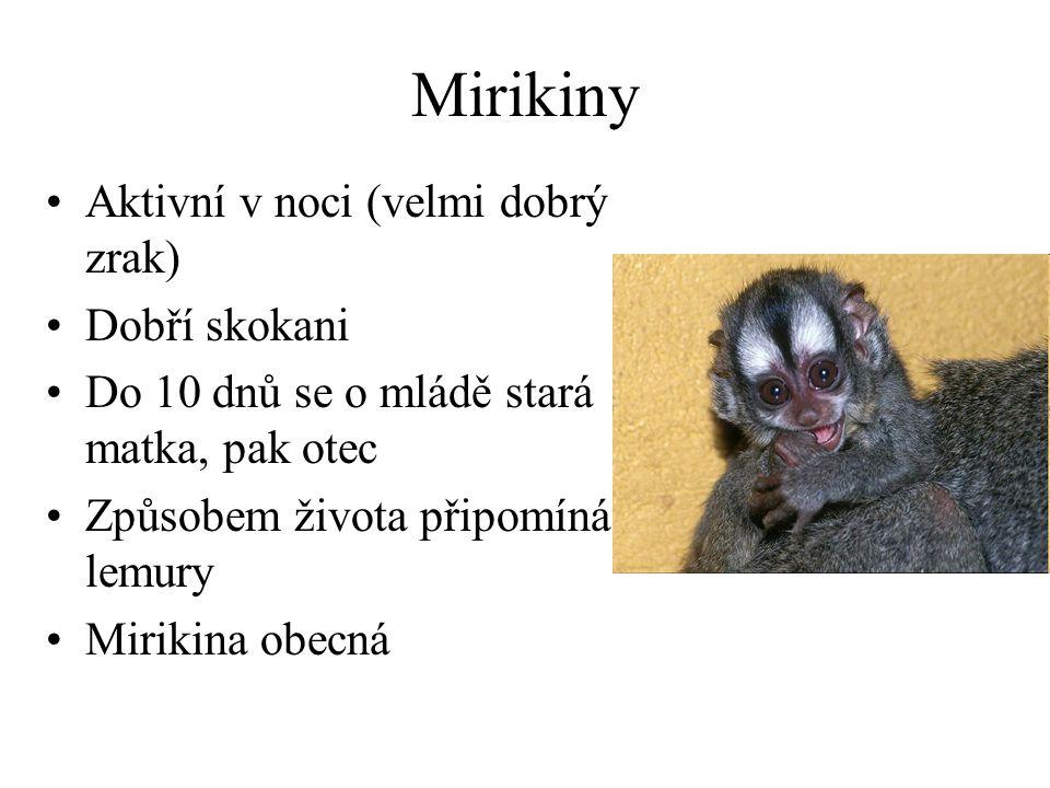 Mirikiny Aktivní v noci (velmi dobrý zrak) Dobří skokani Do 10 dnů se o mládě stará matka, pak otec Způsobem života připomíná lemury Mirikina obecná