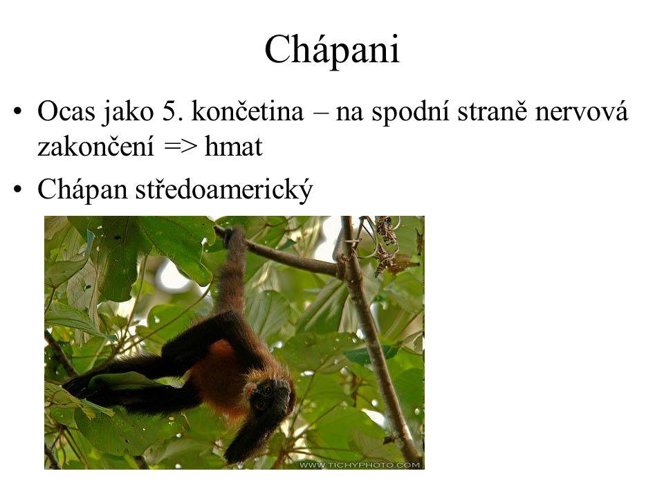 Chápani Ocas jako 5. končetina – na spodní straně nervová zakončení => hmat Chápan středoamerický