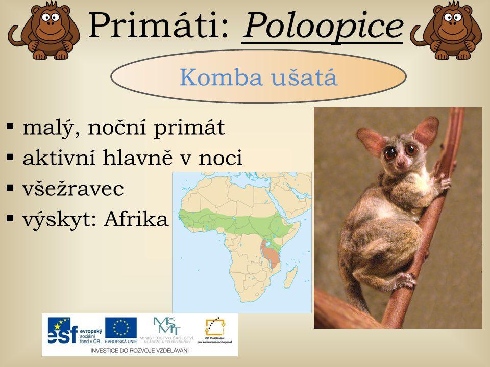 Primáti: Poloopice Komba ušatá  malý, noční primát  aktivní hlavně v noci  všežravec  výskyt: Afrika
