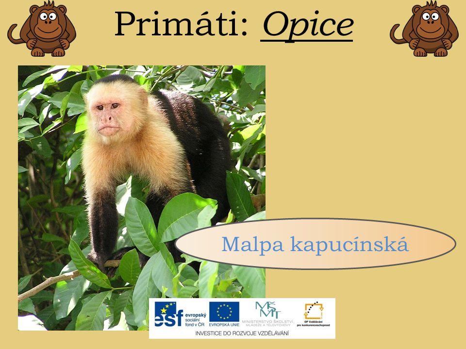 Primáti: Opice Malpa kapucínská