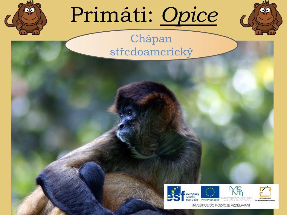 Primáti: Opice Chápan středoamerický