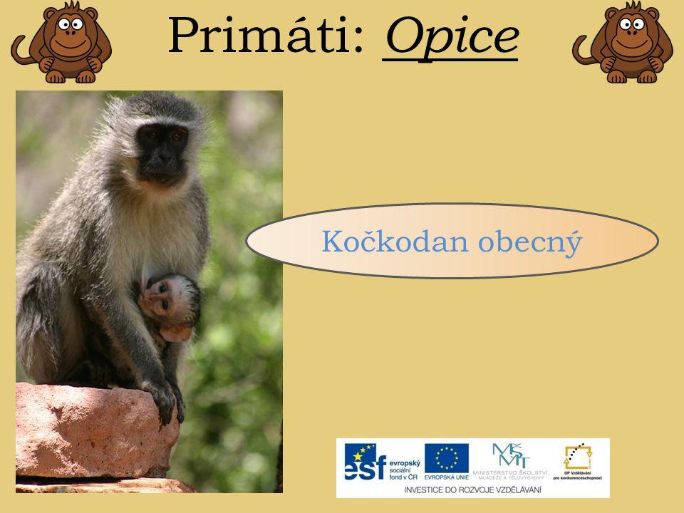 Primáti: Opice Kočkodan obecný