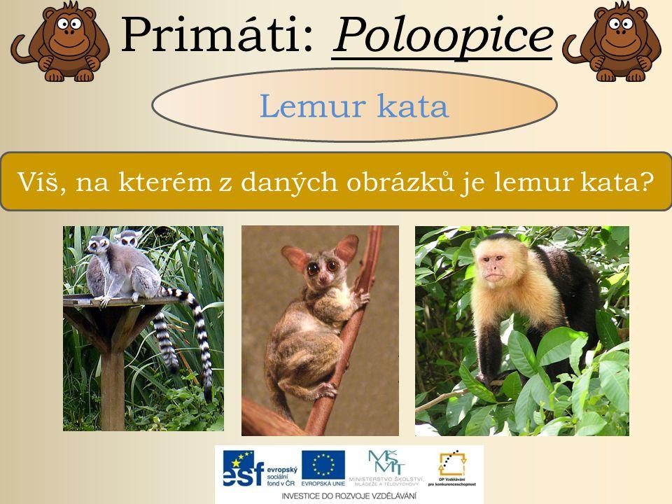 Primáti: Poloopice Lemur kata žije na Madagaskaru hlavně rostlinná potrava denní poloopice dlouhý pruhovaný ocas žije v početných tlupách patří mezi ohrožené druhy