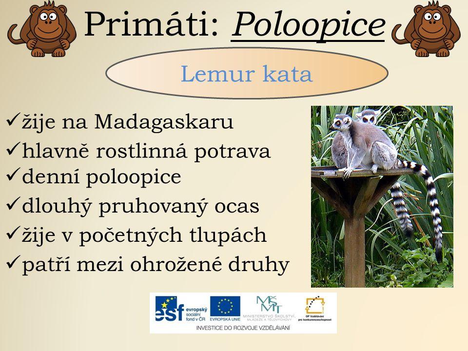 Primáti: Poloopice Lemur kata žije na Madagaskaru hlavně rostlinná potrava denní poloopice dlouhý pruhovaný ocas žije v početných tlupách patří mezi o